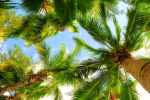 Image lookin up thru palm trees to the blue sky